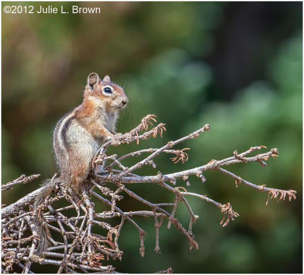 golden-mantled ground squirrel gunnison county col