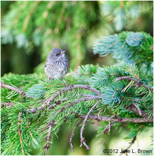 dark-eyed-junco juvenile gunnison national forest
