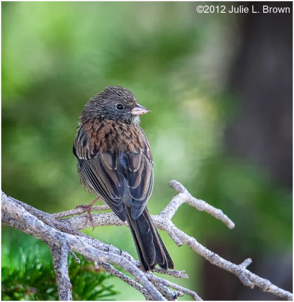 dark-eyed-junco juvenile gunnison national forest