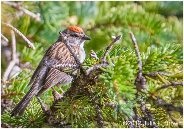 chipping sparrow gunnison national forest colorado