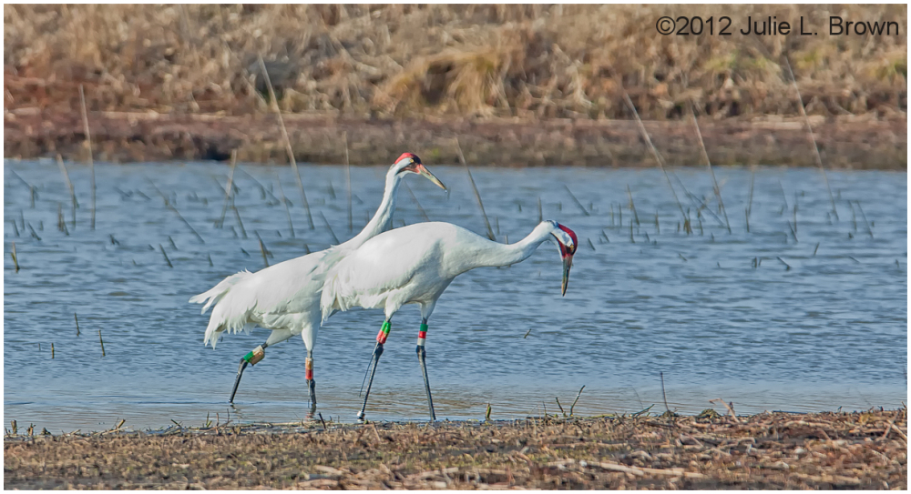 whooping cranes goose pond indiana