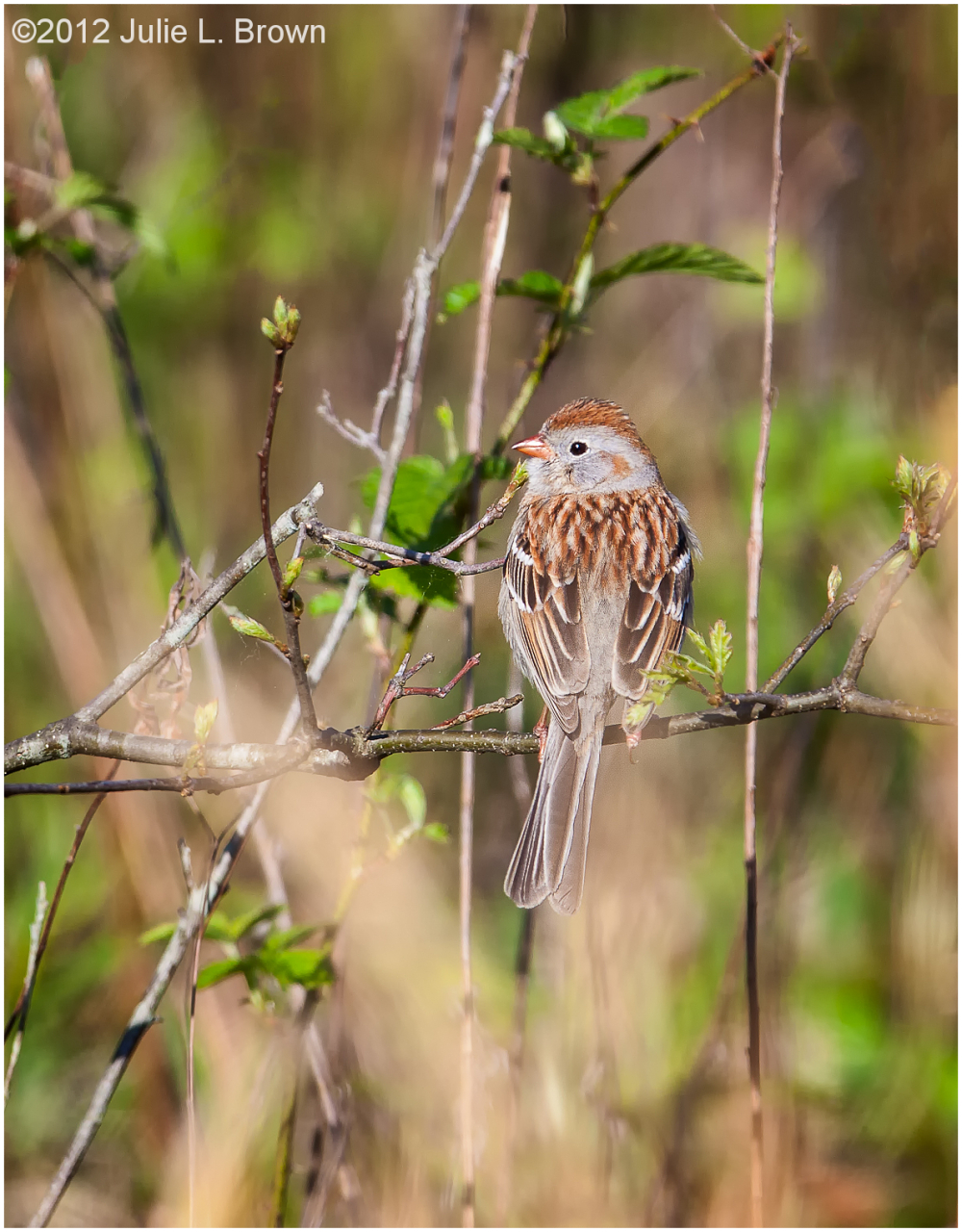field sparrow lookback ritchey woods preserve