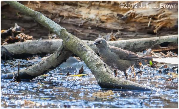 female rusty blackbird wet woodland ritchey woods
