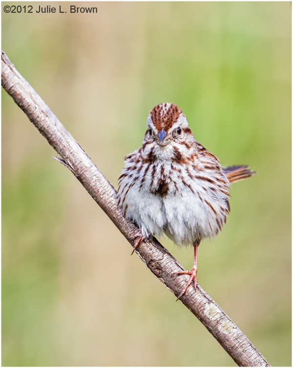 song sparrow fort harrison state park indianapolis