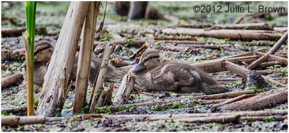ducklings eagle creek park indianapolis indiana