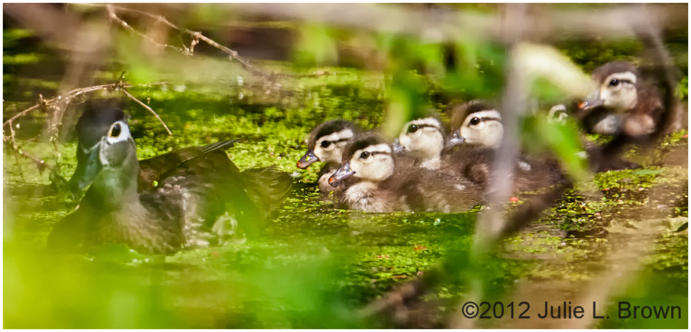 wood duck ducklings eagle creek park indianapolis