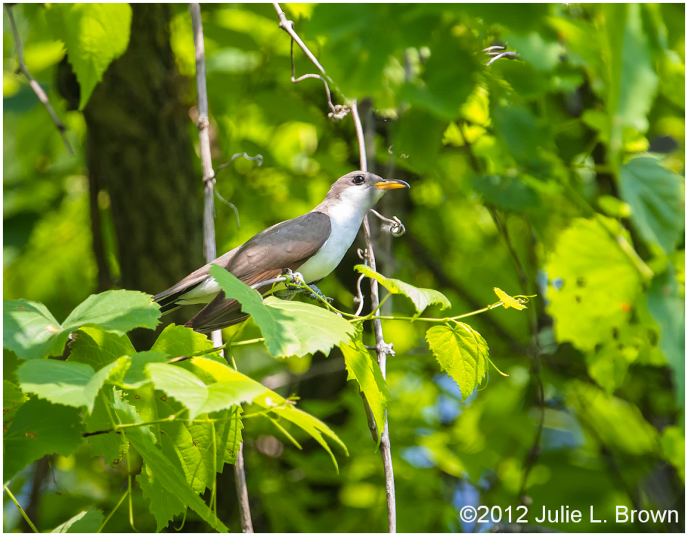 yellow-billed cuckoo ritchey woods nature preserve