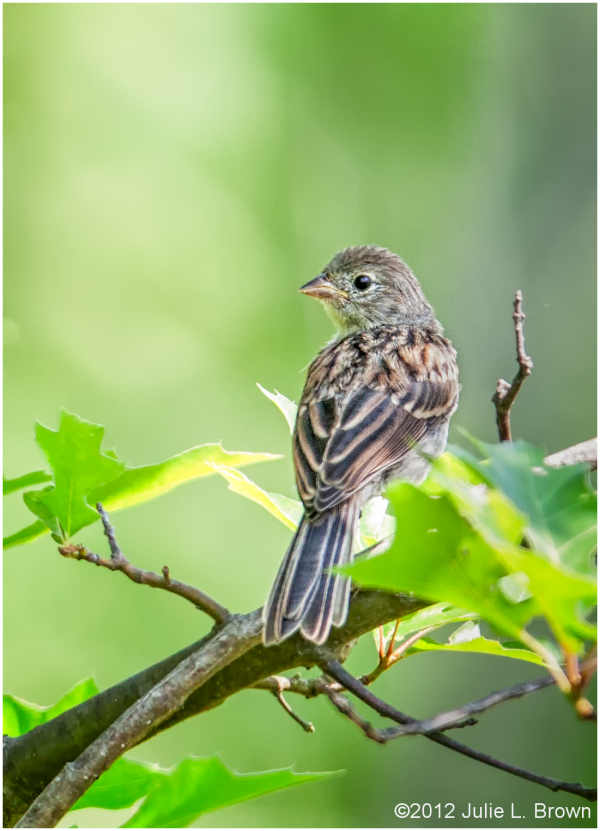 field sparrow fledgling ritchey-woods