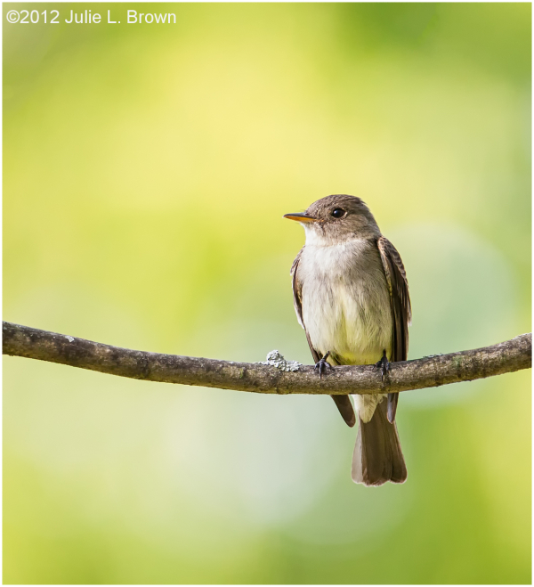 eastern wood-pewee backyard indianapolis indiana