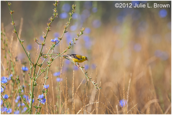 American Goldfinch, foraging in field of chicory
