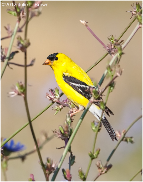 American Goldfinch, adult male breeding