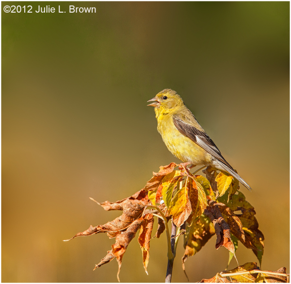 american goldfinch female nonbreeding 100 Acres