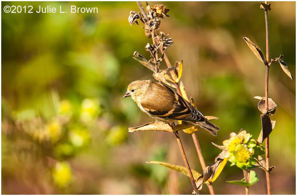 american goldfinch juvenile cool creek park