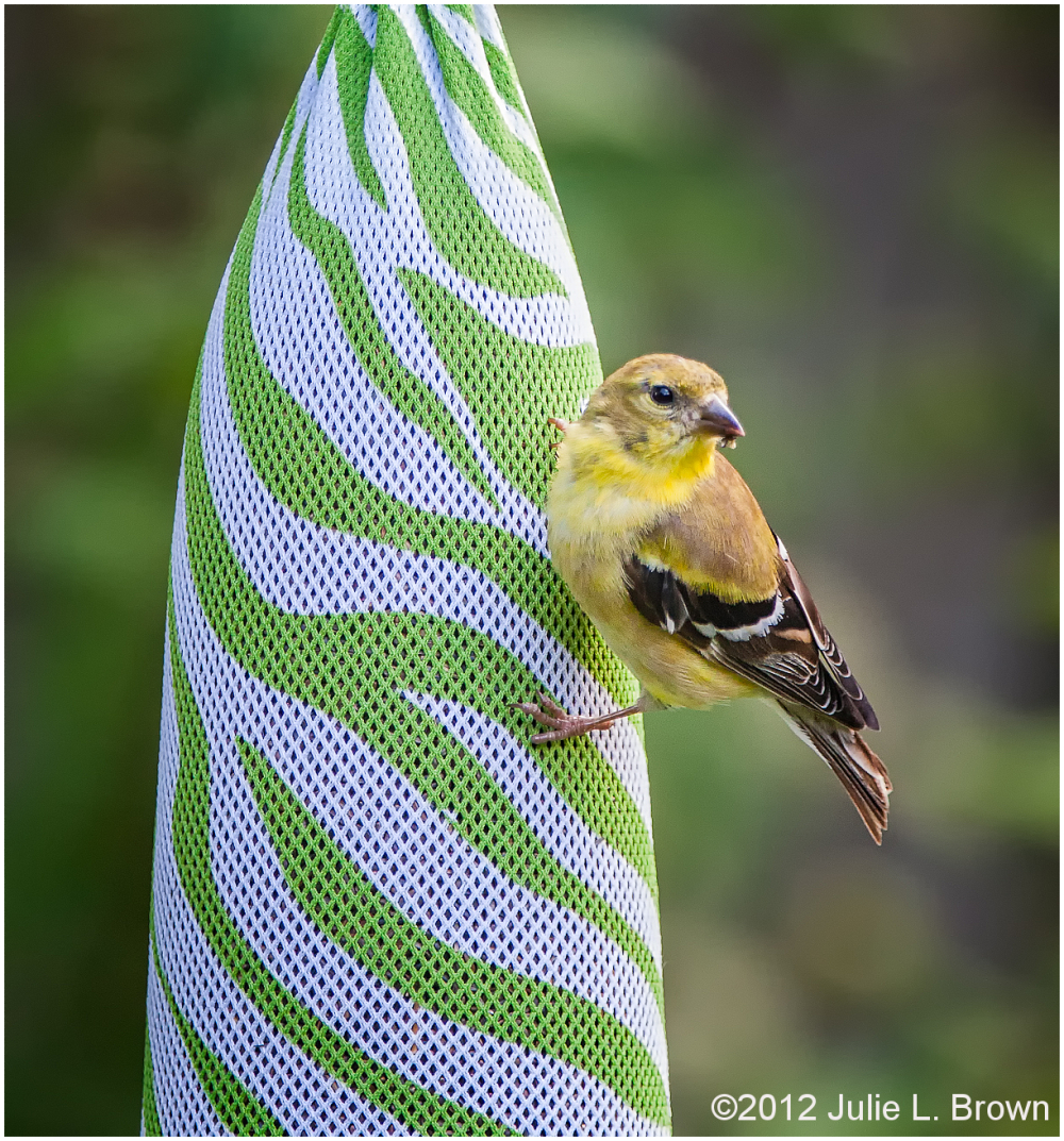 birds american goldfinch on thistle feeder indiana