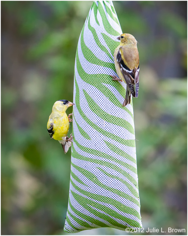 birds american goldfinch on nyjer feeder indianapo