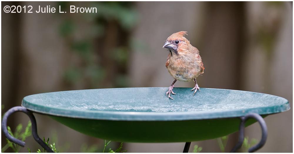 backyard bird northern cardinal male fledgling
