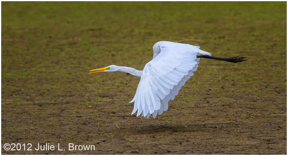 great egret in flight with wings down eagle creek