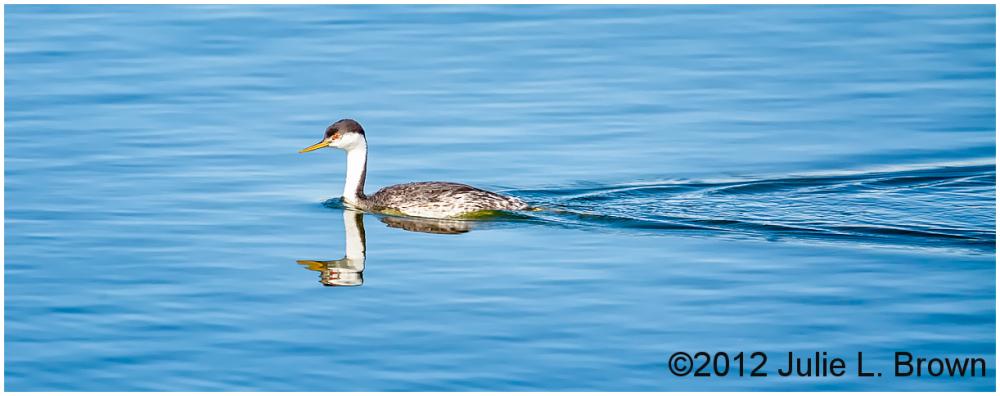 western grebe in pond henderson bird viewing