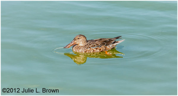 northern shoveler female with drip circles