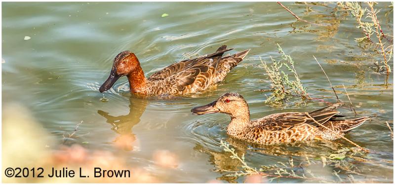 pair of cinnamon teal ducks at HBVP