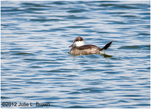 ruddy duck adult