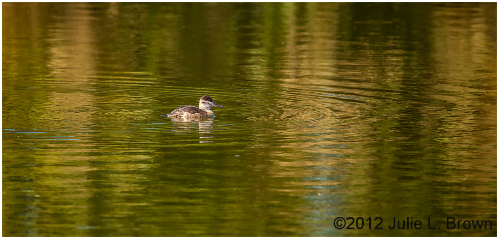 female ruddy duck henderson bird viewing preserve