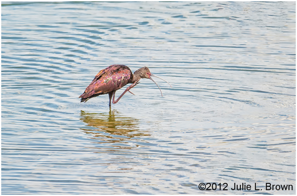 white-faced ibis preening