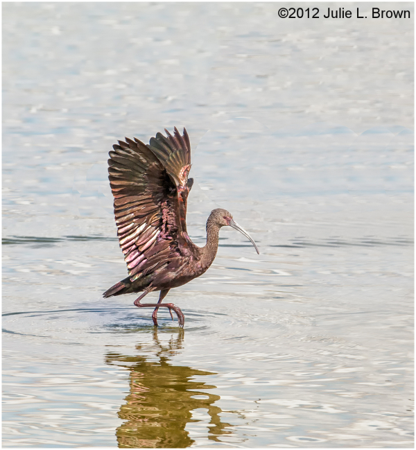 white-faced ibis wings up HBVP nevada