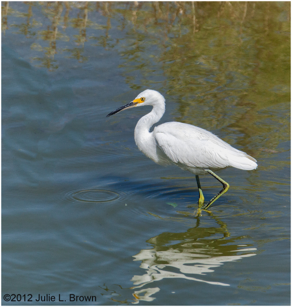 snowy egret hunt henderson bird viewing preserve