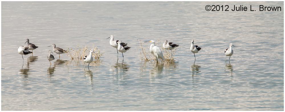 american avocets greater yellowlegs snowy egret