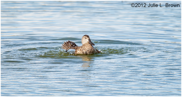 bue winged teal taking a bath HBVP