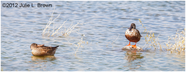 northern shoveler pair HBVP nevada