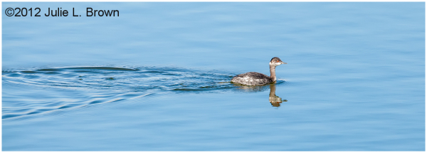adult Horned Grebe nonbreeding HBVP nevada