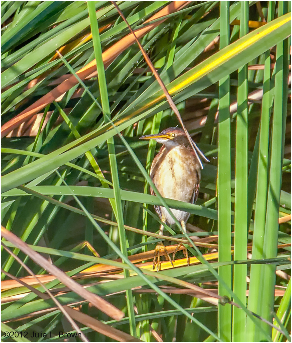 least bittern adult female HBVP nevada