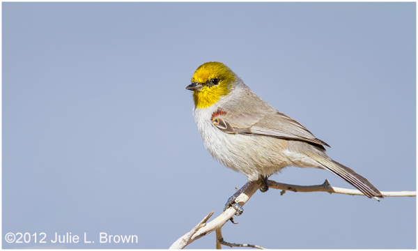 adult verdin HBVP nevada