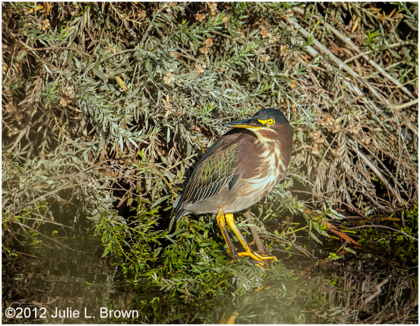 green heron adult HBVP nevada