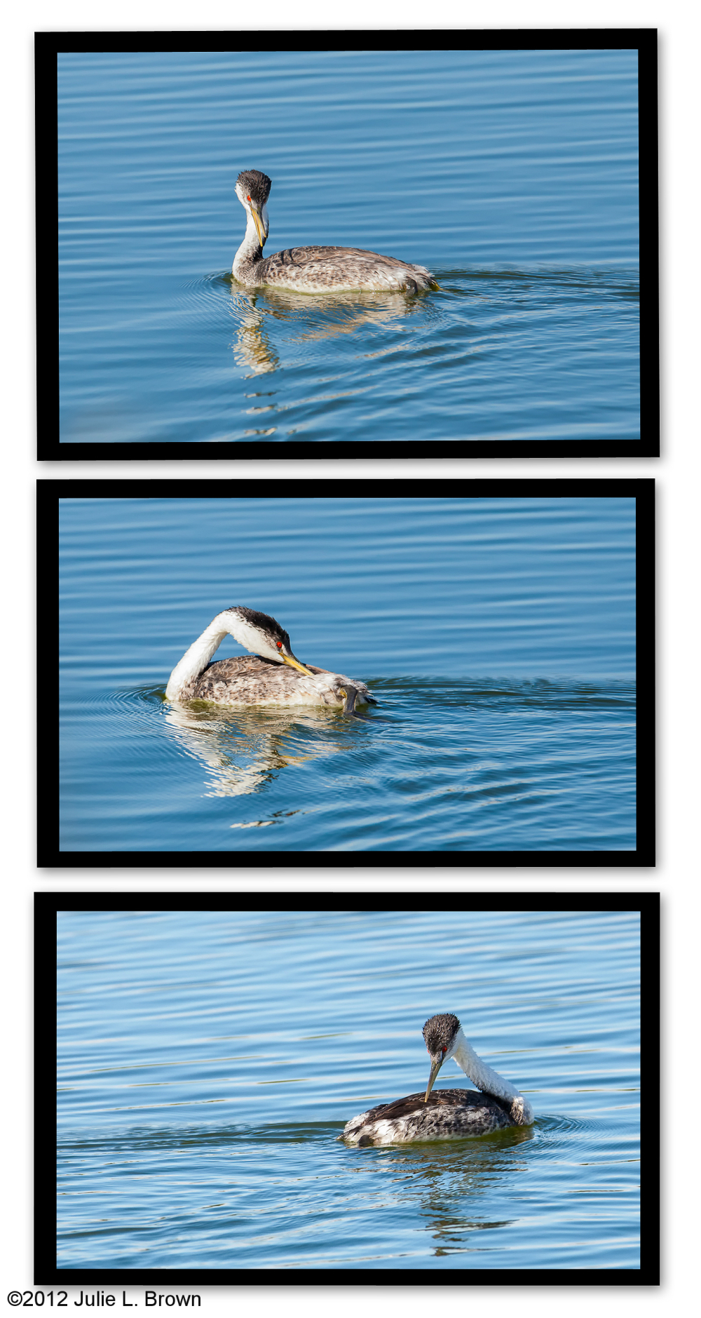 western grebe preening collage