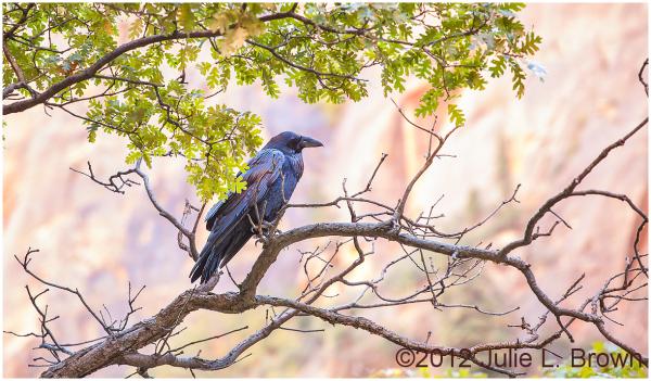 common raven along riverside walk zion NP