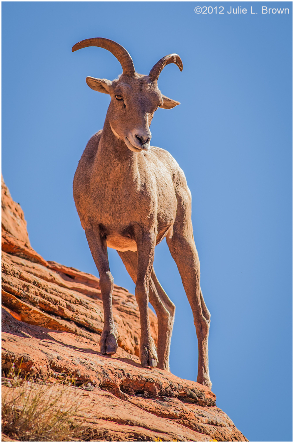 desert bighorn sheep ram Ovis canadensis nelsoni