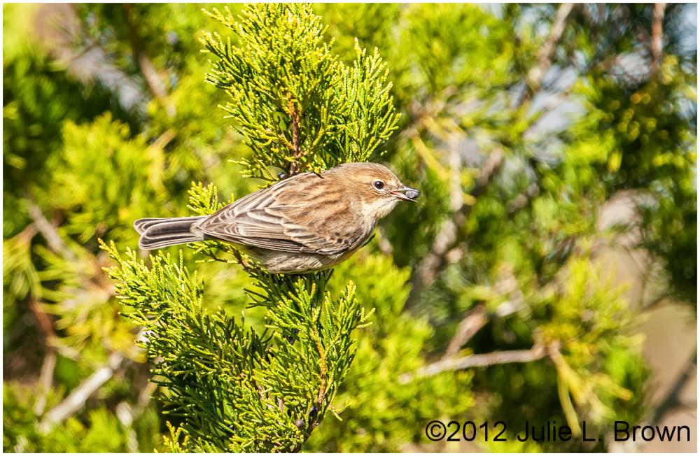 yellow-rumped warbler myrtle female egans greenway