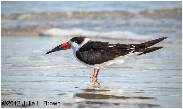 black skimmer fernandina beach florida