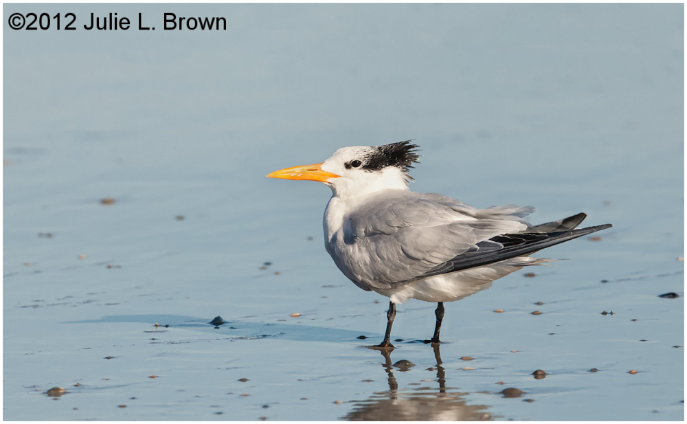 Royal tern adult fernandina beach florida