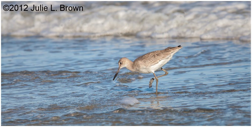 willet in nonbreeding plumage fernandina beach