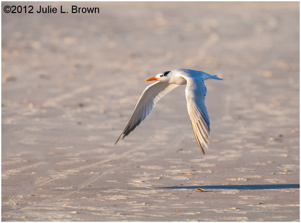 royal tern in flight fernandina beach florida