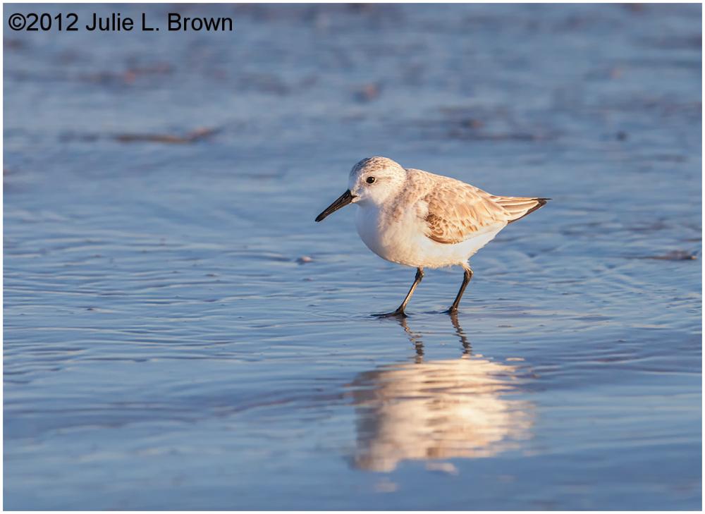 sanderling adult nonbreeding fernandina beach