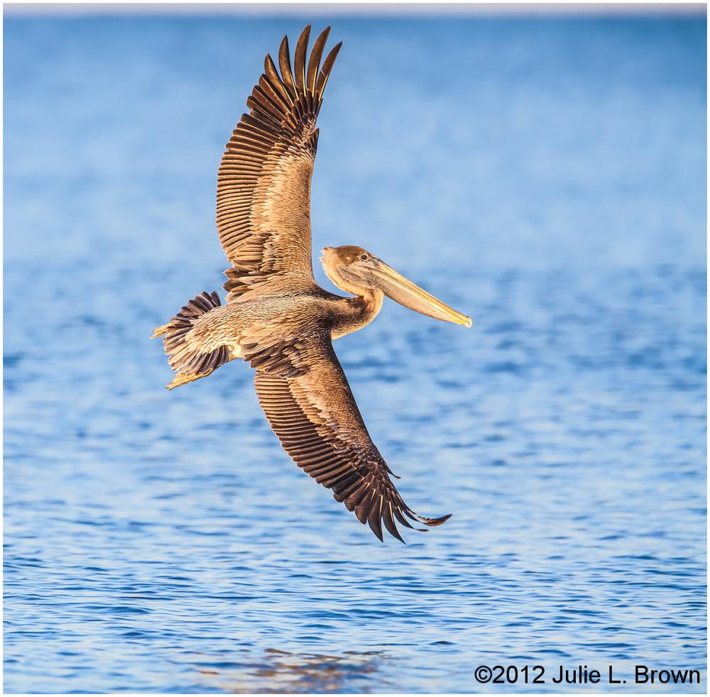 brown pelican in full wingspread fernandina beach