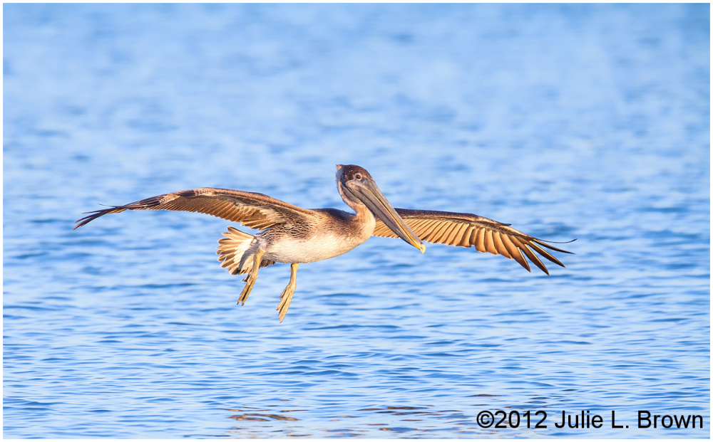 brown pelican gliding in for a water landing