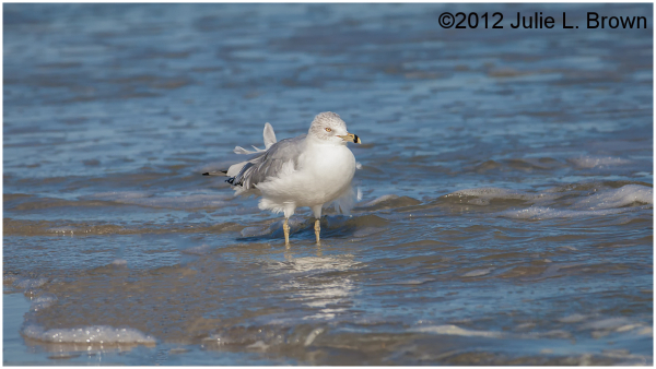 adult ring-billed gull in winter plumage florida