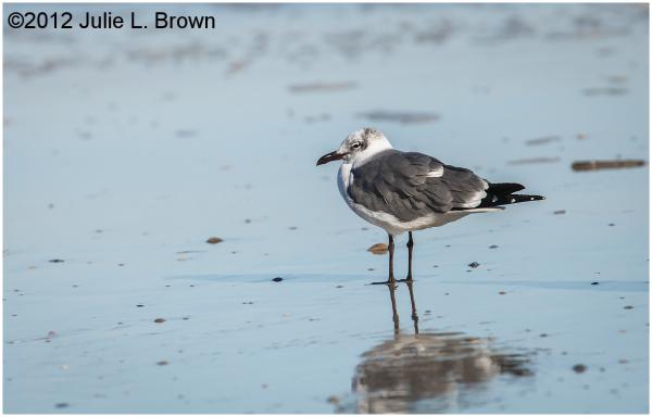 adult laughing gull winter fernandina beach