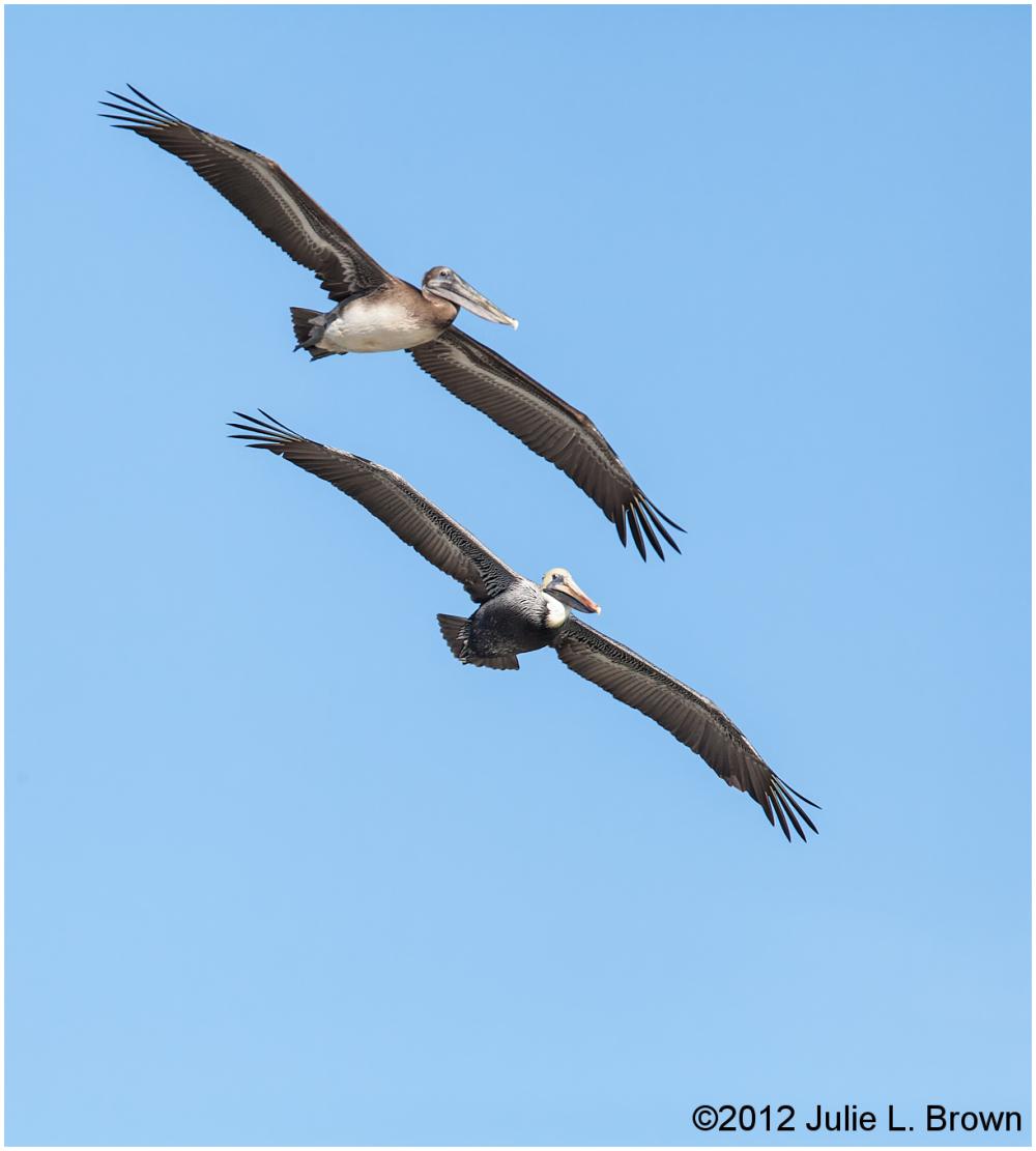 brown pelican pair flying in tandem
